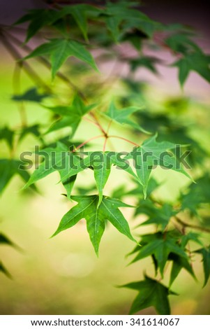 Acer longipes - tree and details