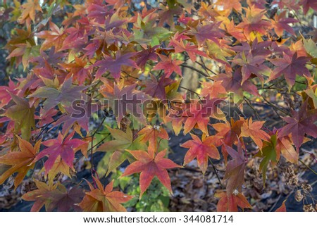 Acer palmatum, called Japanese Maple or Smooth Japanese Maple  - stock photo