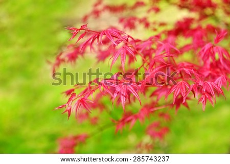 Acer palmatum growing as a little tree or a shrub plant is famous for vivid red color of leaves