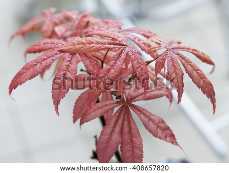 Acer palmatum in close up, horizontal image - stock photo