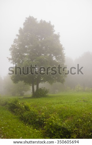 Acer Pseudoplatanus (Sycamore Maple) in th Fog  - stock photo