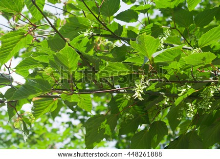 Acer Tegmentosum, Manchurian striped maple, branches with green leaves and seeds in summer daylight. - stock photo