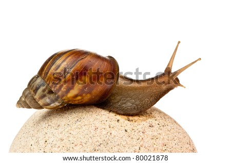 Achatina fulica. Giant African land snail.