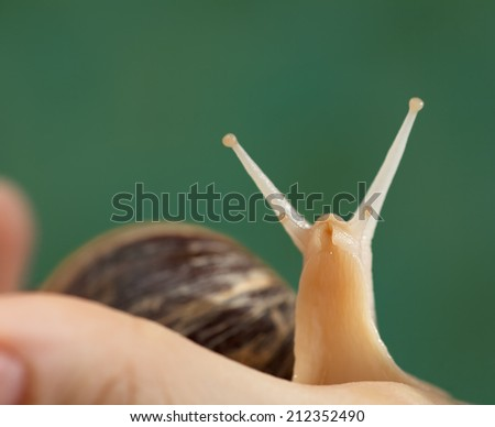 Achatina/Giant snail is on a green background. close-up - stock photo