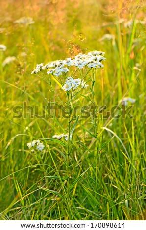 Achillea cartilaginea flower on meadow - stock photo