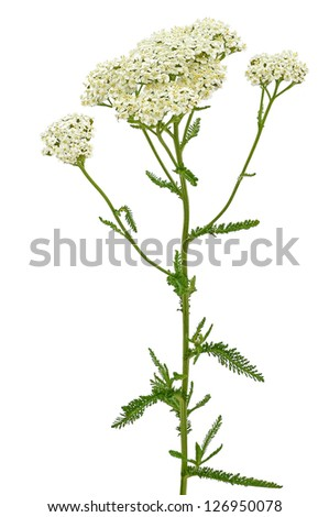 Achillea millefolium flower isolated on white background - stock photo