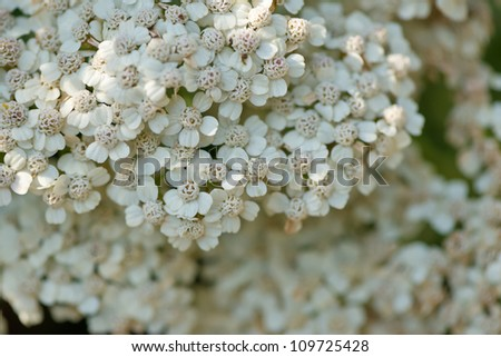 Achillea millefolium in bloom - stock photo