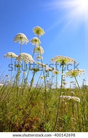 Achillea millefolium, known commonly as yarrow. Wildflower. - stock photo