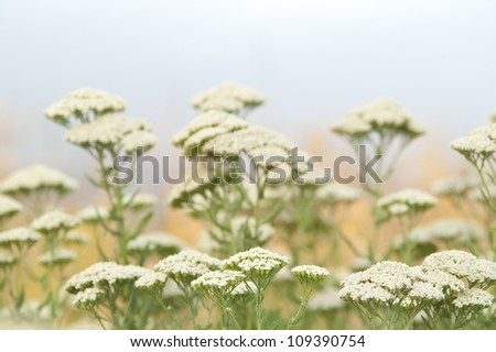 Achillea millefolium - yarrow common herb - stock photo