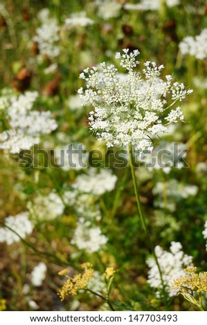 Achillea plants with their many white flowers