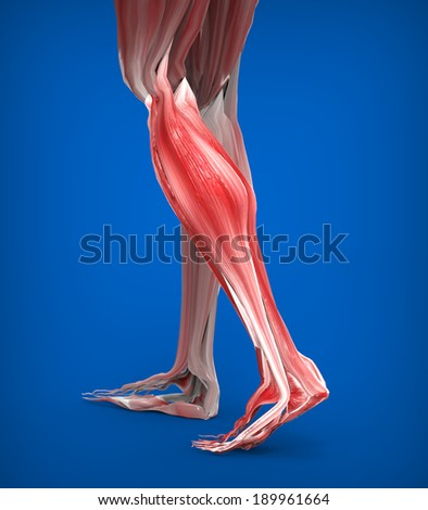 Achilles tendon with lower leg muscles  - stock photo
