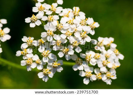 Achollea alpina var longiligulata, Yarrow, Yarrow White, Asteraceae, Honshu - Hokkaido   - stock photo