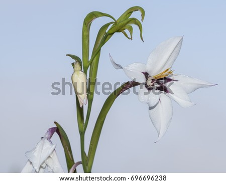 acidanthera isolated flower