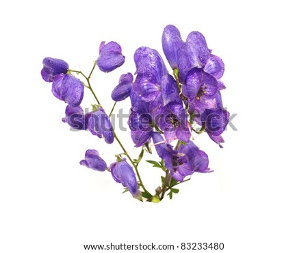 Aconitum napellus on a white background