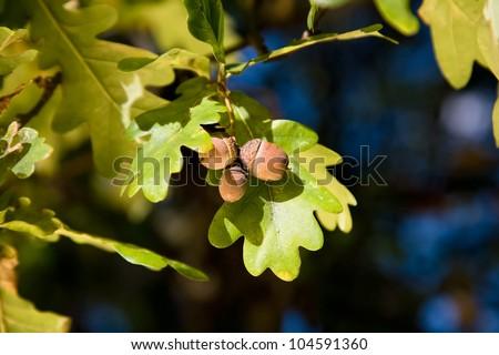 Acorn and oak tree leaves - stock photo