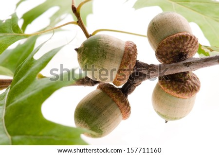 acorn fruits with leaves isolated on white background  - stock photo