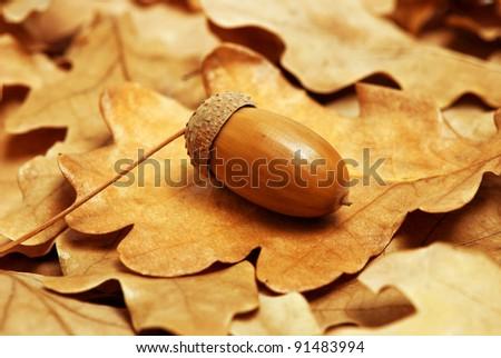 acorn in autumn leaves of oak - stock photo