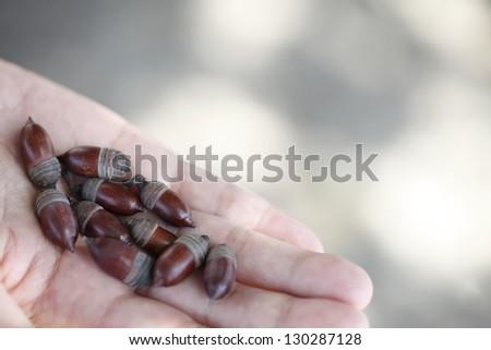 Acorn palm - stock photo