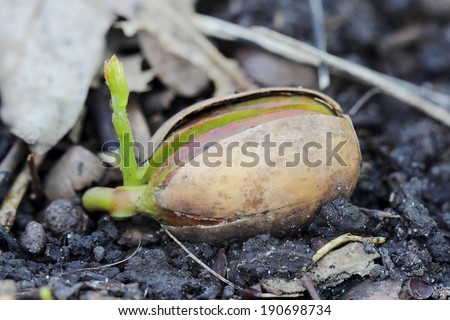 Acorn seedling in spring forest. Close up  - stock photo