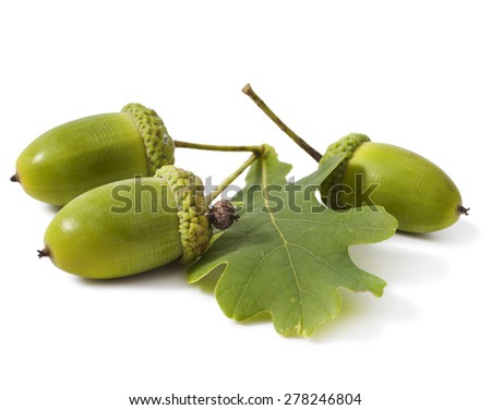 Acorn with an oak leaf isolated on white  - stock photo