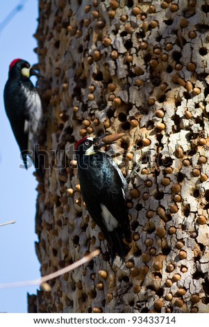 Acorn Woodpeckers on a tree in California - stock photo
