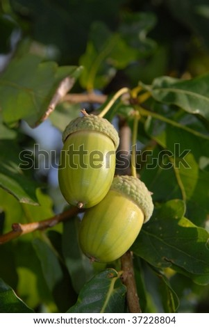 acorns and leaves detail - stock photo