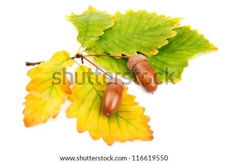 acorns and oak leaves - stock photo