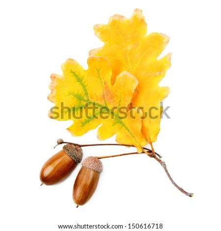 acorns and oak leaves isolated on white background - stock photo