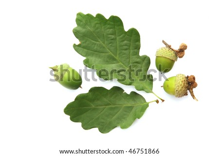 Acorns on a white background - stock photo
