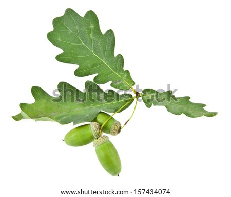 acorns on a white background. picture from series. - stock photo