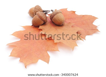 Acorns on autumn leaves isolated on a white background. - stock photo