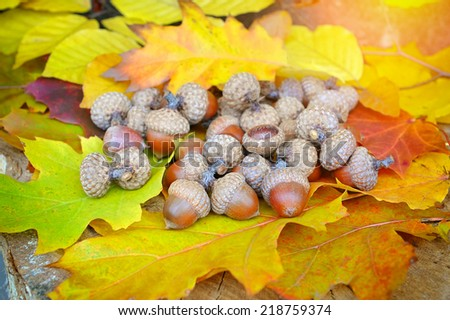 Acorns on background colorful fall leaves