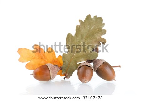 Acorns with an oak leaves - stock photo