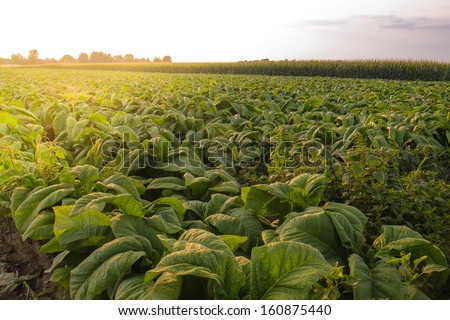 Acres of fresh amish country vegetables waiting to be picked - stock photo