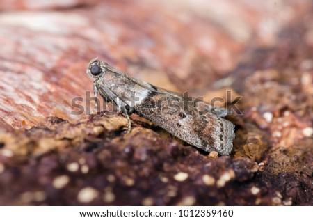 Pyralid moth   insect   Britannica.com