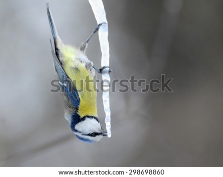 Acrobatics of Blue Tit (Parus caeruleus) on maple sap icicle in early spring - stock photo