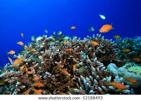 Acropora Corals with Tropical Fish