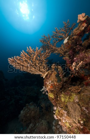 Acropora in the Red Sea