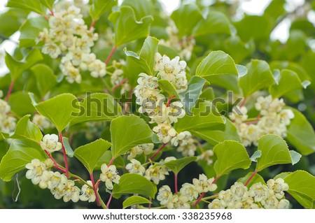 Actinidia (Hardy Kiwi) Plant with Flowers  - stock photo