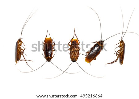 action image of Cockroaches, Collection image of Cockroaches isolated on white background , Group dead cockroach isolate on white background