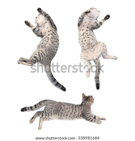 Action of Scottish straight kitten sleeping on white background