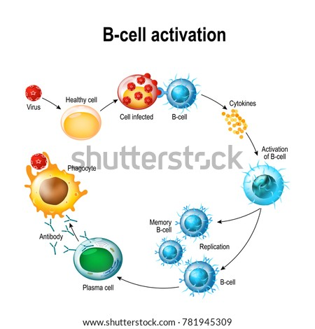 Activation bcell leukocytes lymphoblast activation memory stock activation of b cell leukocytes lymphoblast activation memory b leukocyte publicscrutiny Gallery