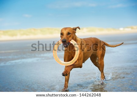Active athletic dog puppy rhodesian ridgeback running at the sea with frisbee - stock photo