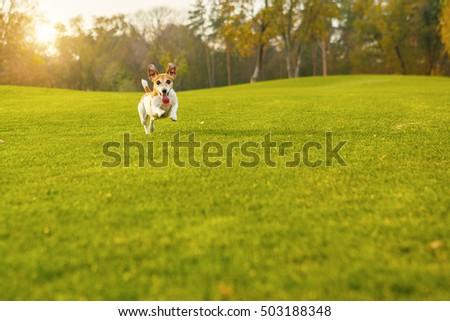 Active Funny jumping  Jack Russel terrier running on green meadow. Happy natural background pet.  series of photos