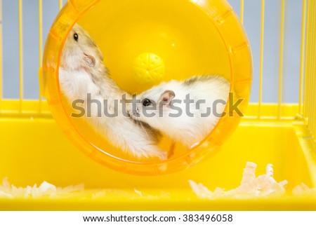 active hamster running on a wheel - stock photo