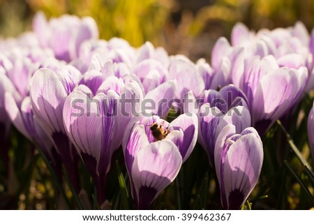 active honeybee collecting nectar from first spring crocus saffron flowers in the sunlit garden