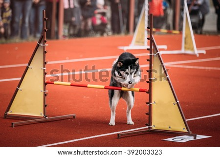 Active Young Funny Husky dog jumping outdoor at agility. Dog jumping over barrier at training.