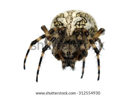 Aculepeira ceropegia orb web spider isolated on white. - stock photo