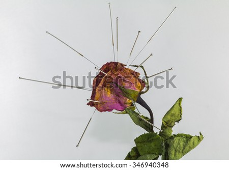Acupuncture on dry rose in concept healing wrinkle or acupuncture for beauty - stock photo