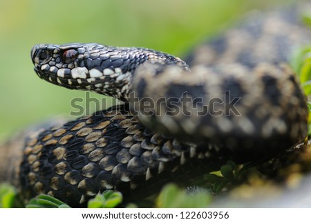 Adder portrait